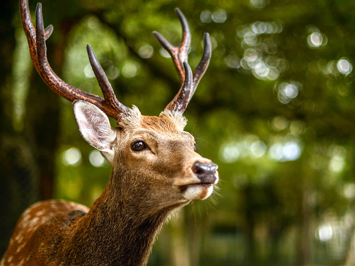 The Dos and Don'ts of the Deer in Nara Park